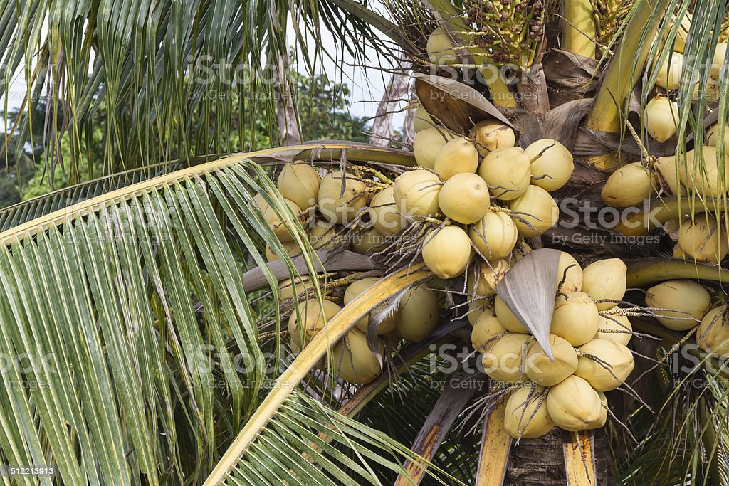 Bunch of yellow coconut fruits hanging on tree stock photo