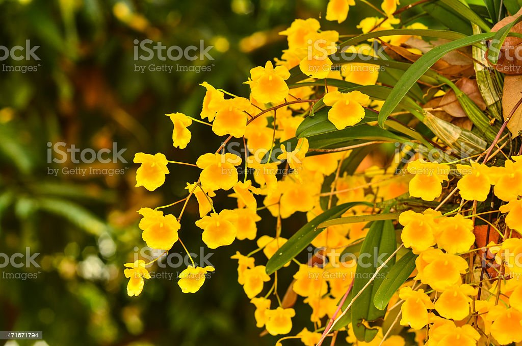 Bunch of YelloW Honey fragrant orchid stock photo