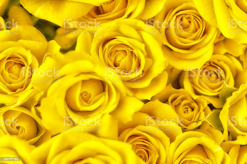 bunch of yellow roses full frame photography stock photo