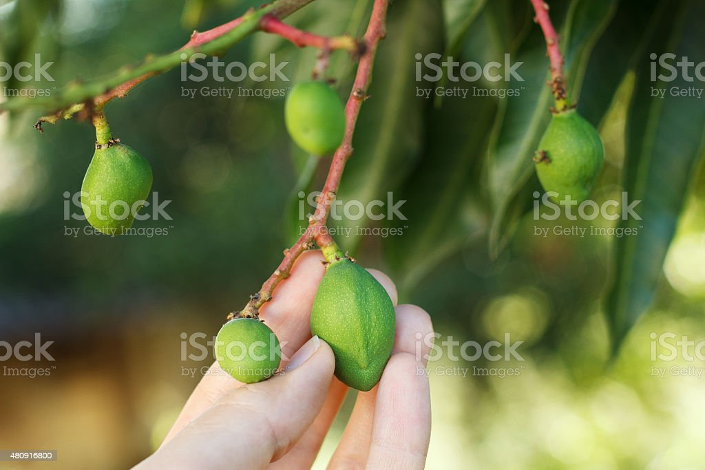 Bunch of young green mango on tree stock photo