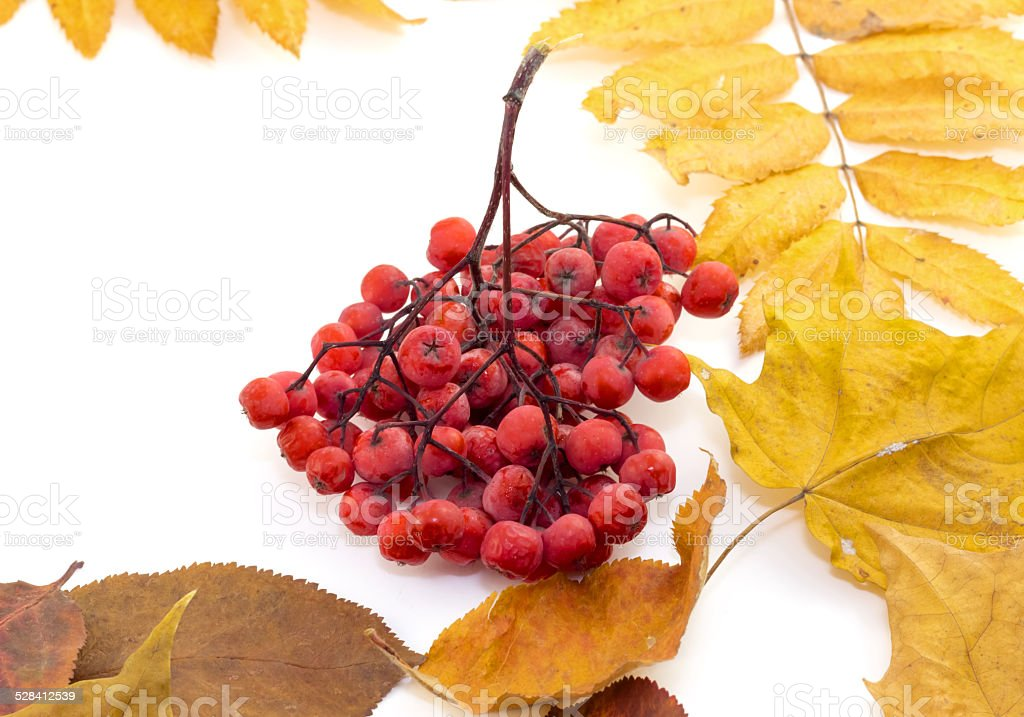 Bunch red berries on autumn leaves on a white background stock photo