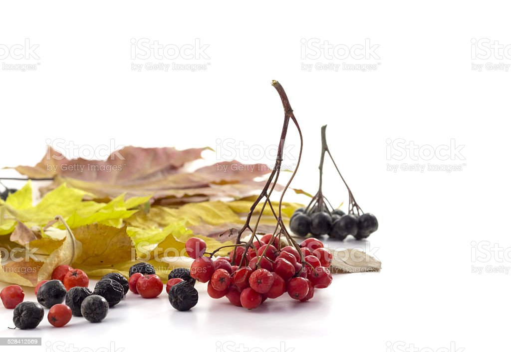 Bunch red rowan on autumn leaves on  awhit background stock photo