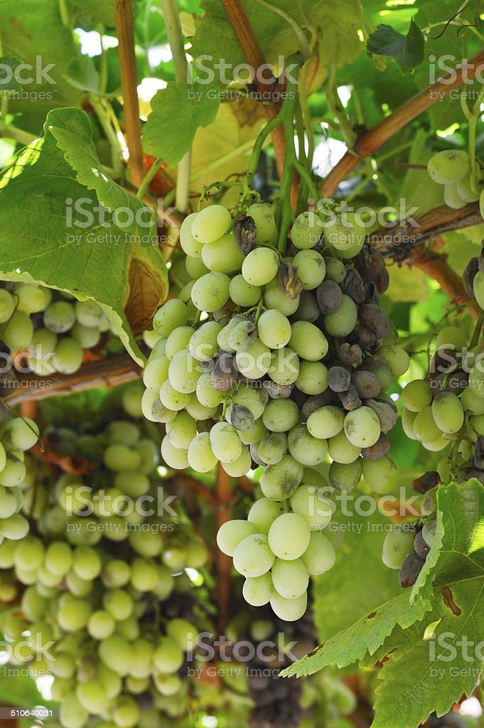 Bunch rot grapes infection. stock photo