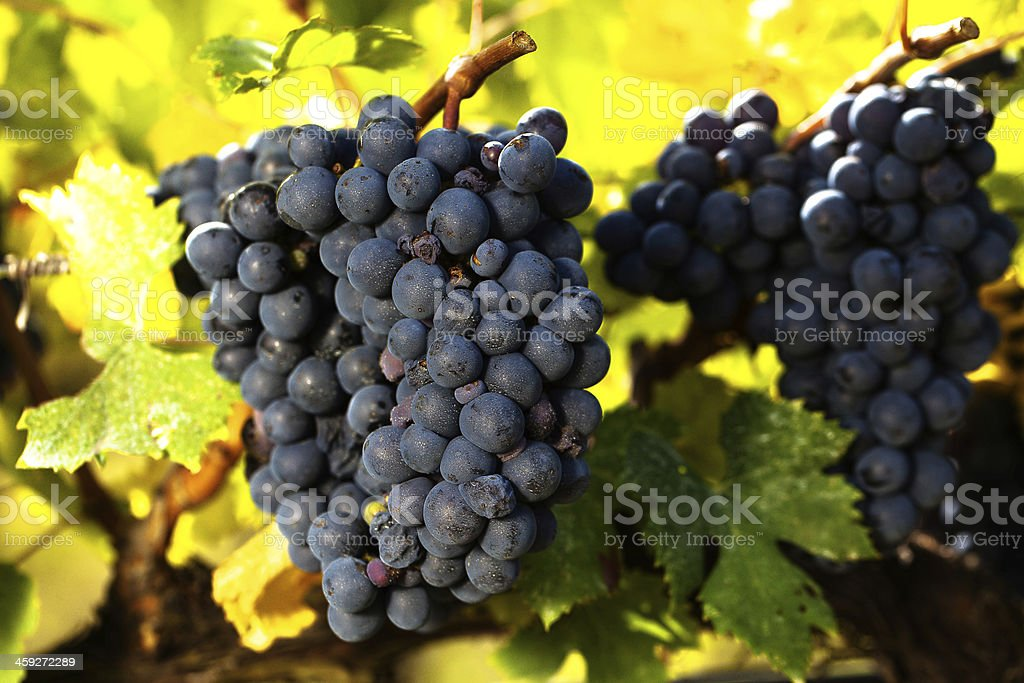 Bunches of black grapes royalty-free stock photo