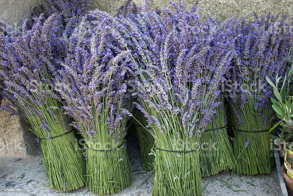Bunches of fresh Provencial lavender. Freshly cut. royalty-free stock photo