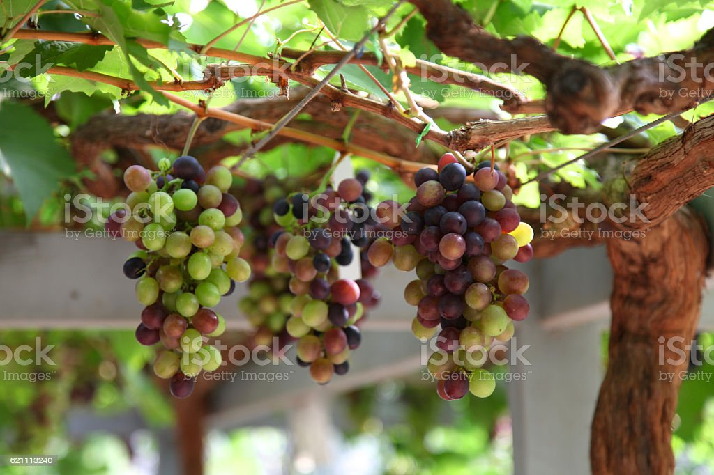 Bunches of grapes in the vineyard, Thailand stock photo
