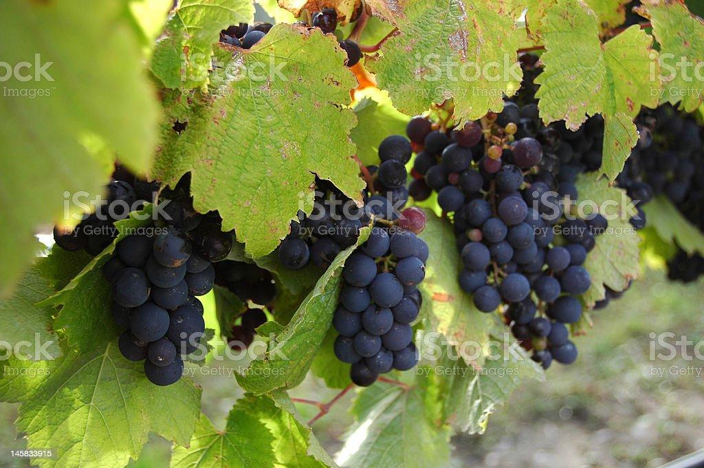 Bunches of Grapes royalty-free stock photo