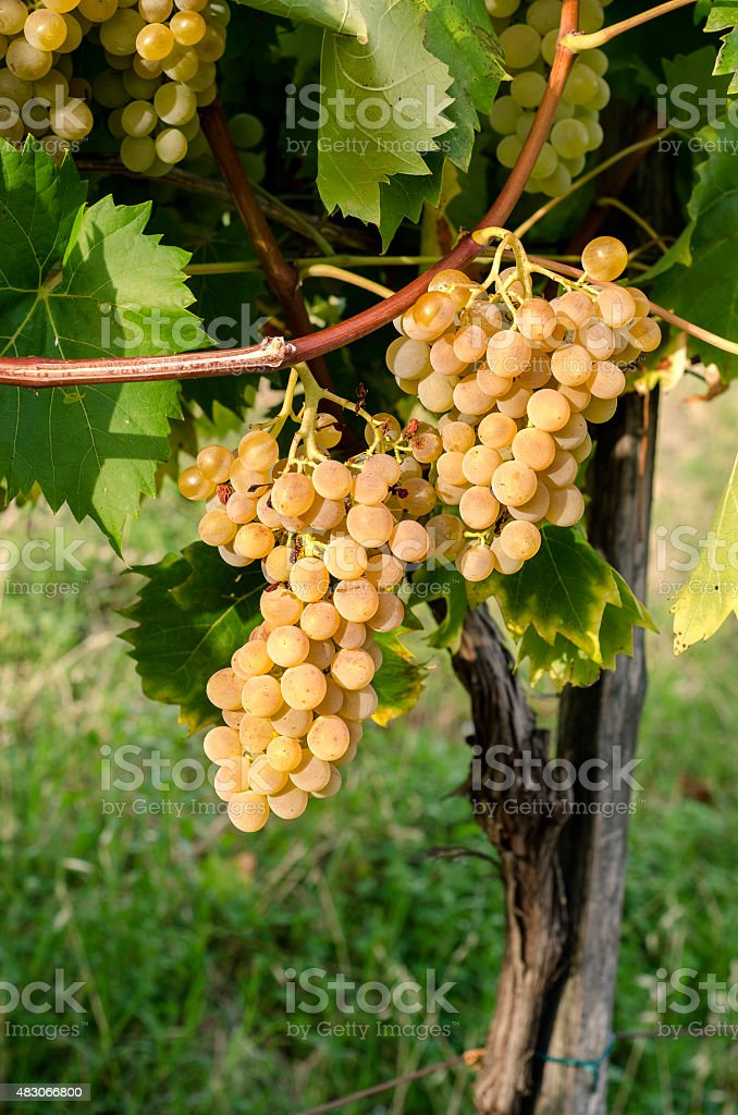 bunches of grapes stock photo