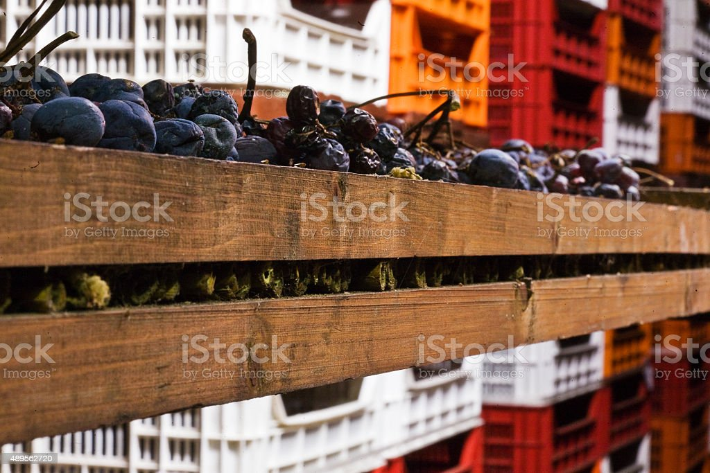 Bunches of grapes used for Amarone stock photo