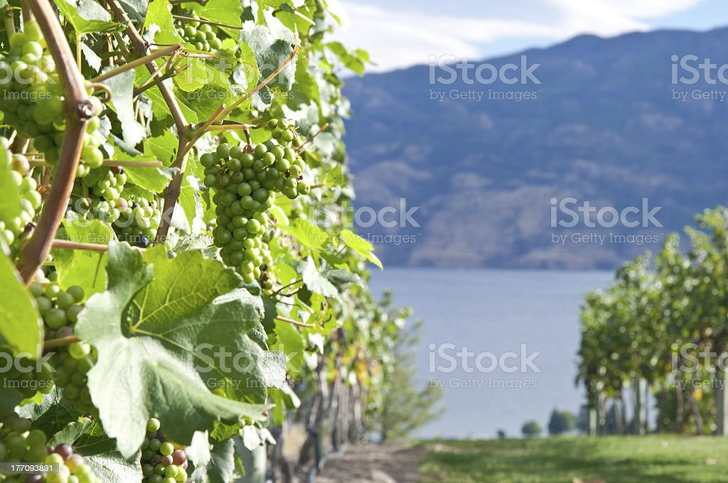 Bunches of Grapes with a Lake stock photo
