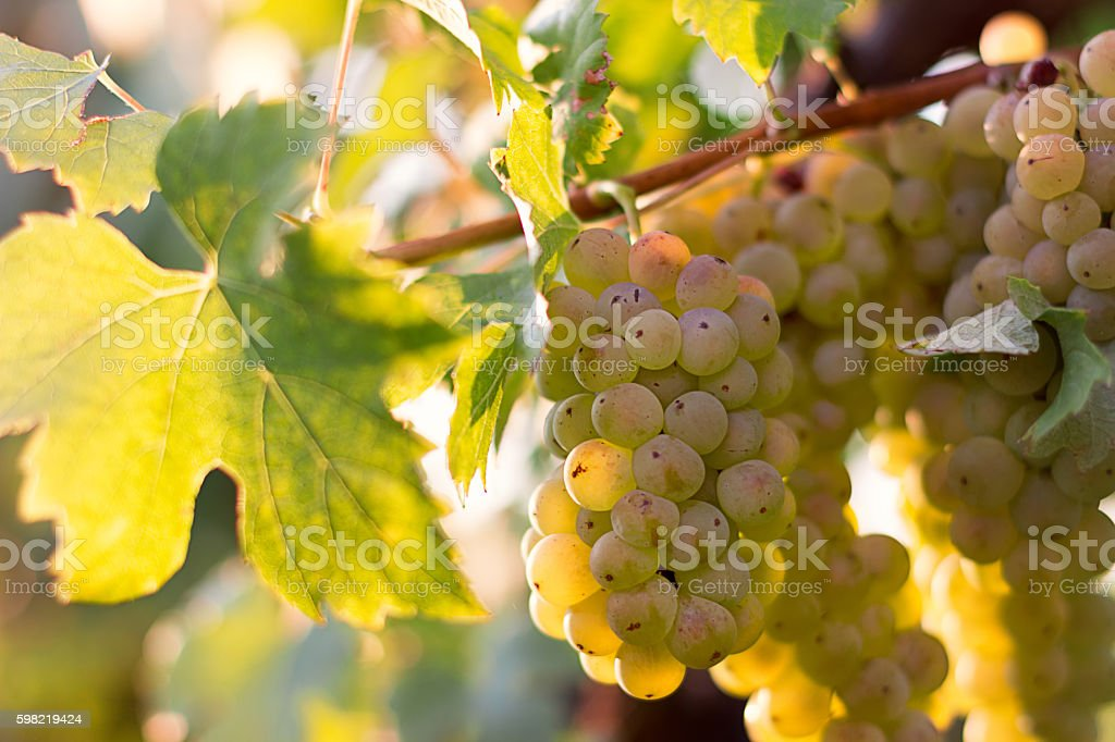 Bunches of green wine grapes growing in vineyard stock photo
