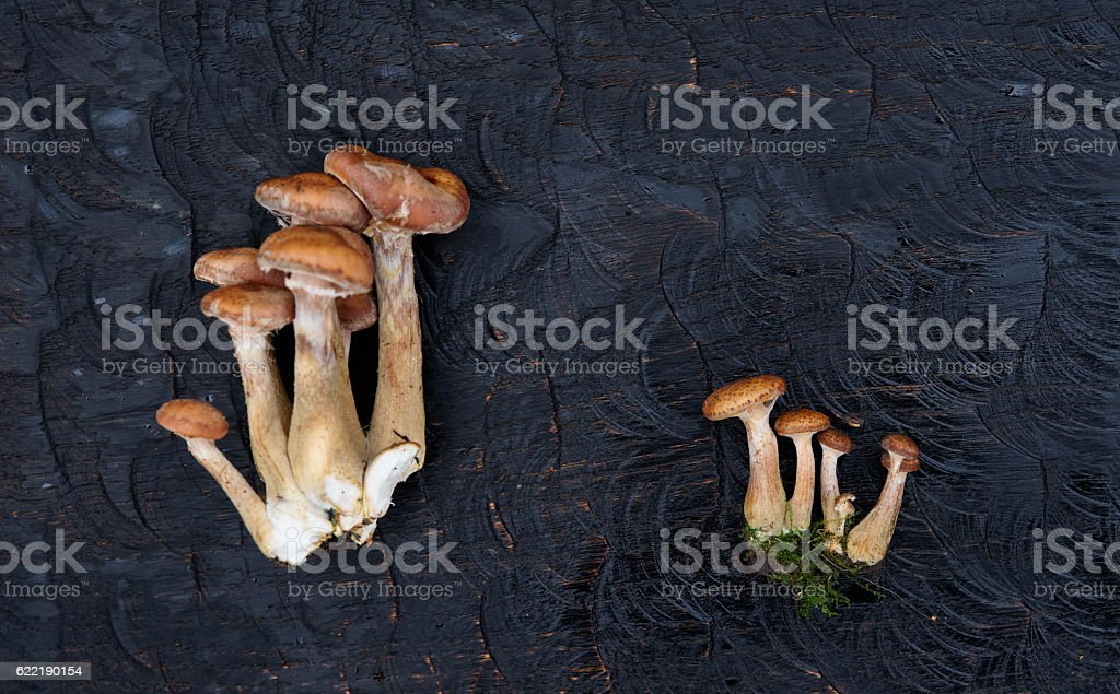 Bunches of honey mushrooms on black wooden board stock photo