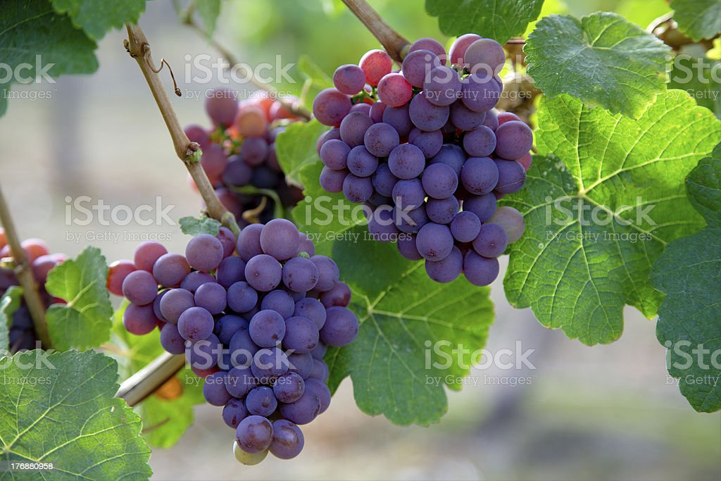 Bunches of Pinot Noir grapes. stock photo