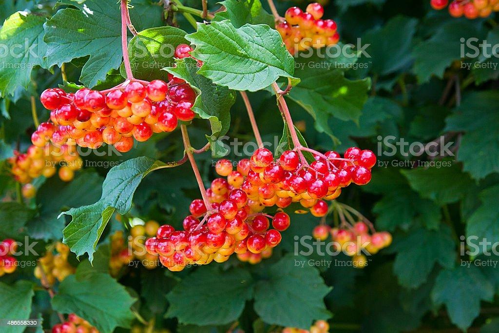 Bunches de Bayas rojas de Guelder rose foto de stock libre de derechos