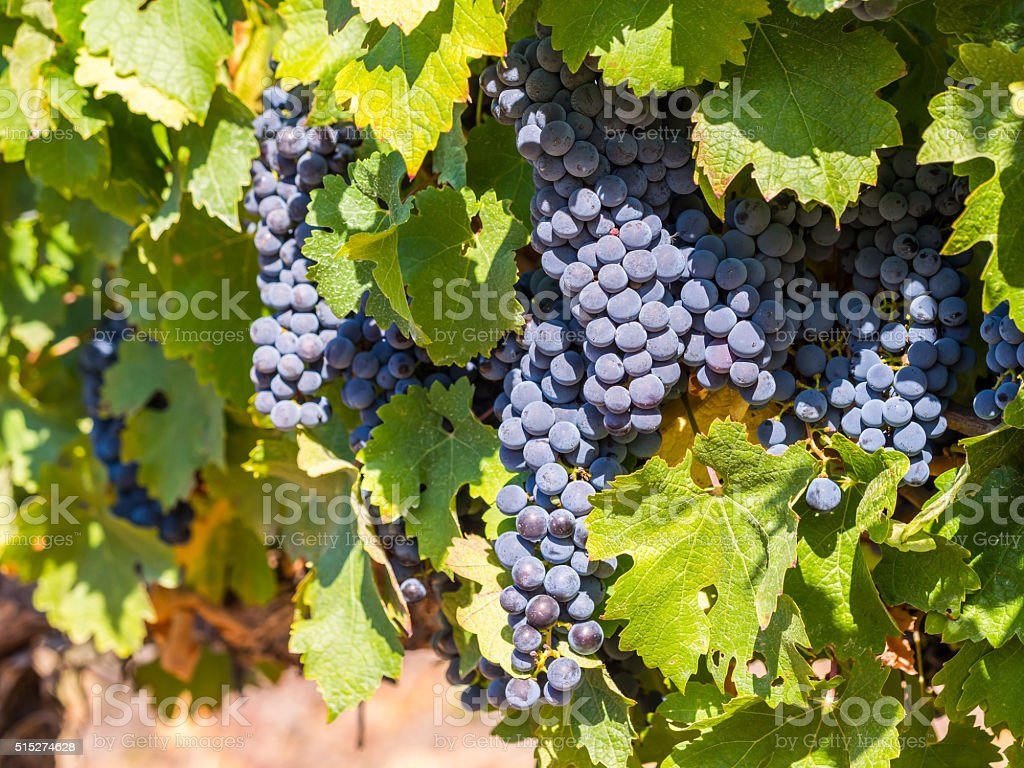 Bunches of red grapes growing in South Africa stock photo