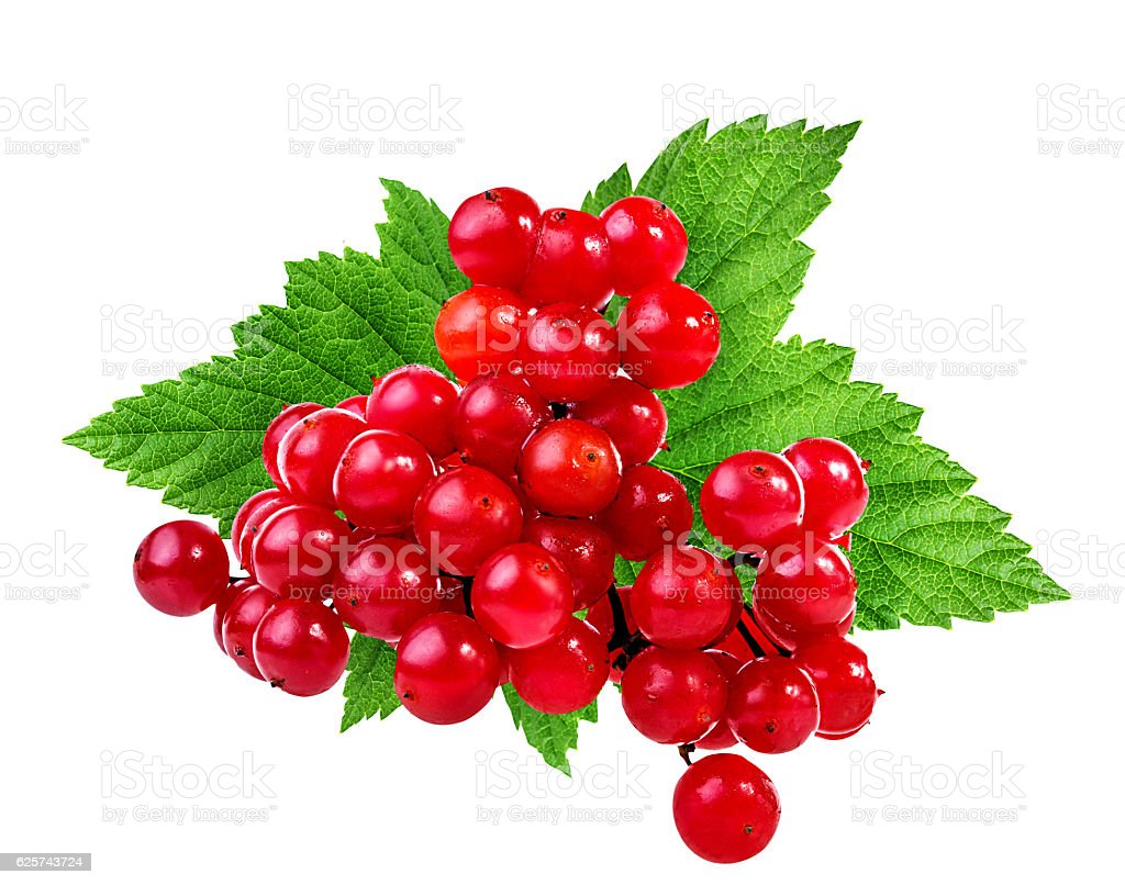 bunches of red viburnum on a white stock photo