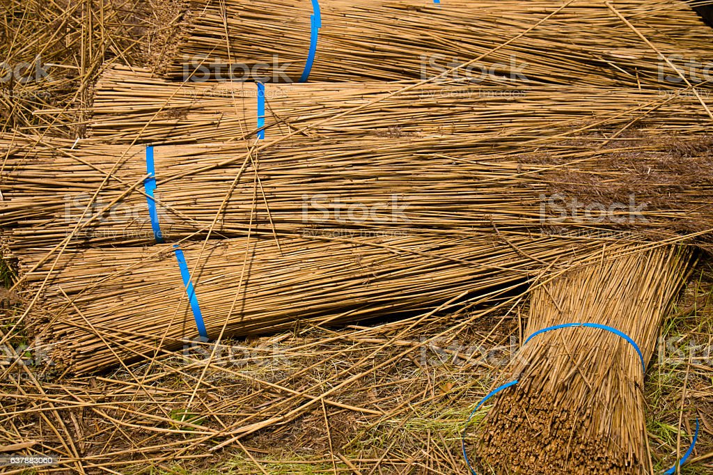 Bunches of Reed stock photo