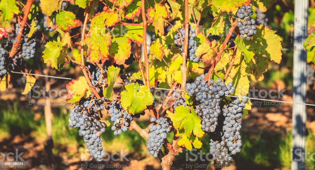 bunches of ripe grapes on their vines before harvest stock photo