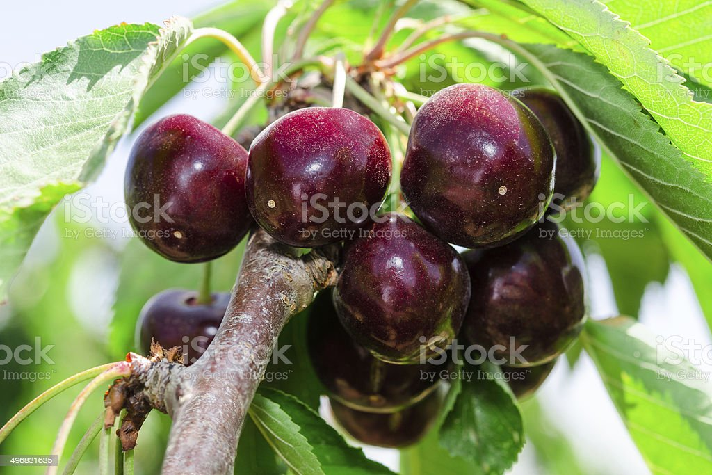 Bunches of ripe juicy cherry dark bordo berry stock photo