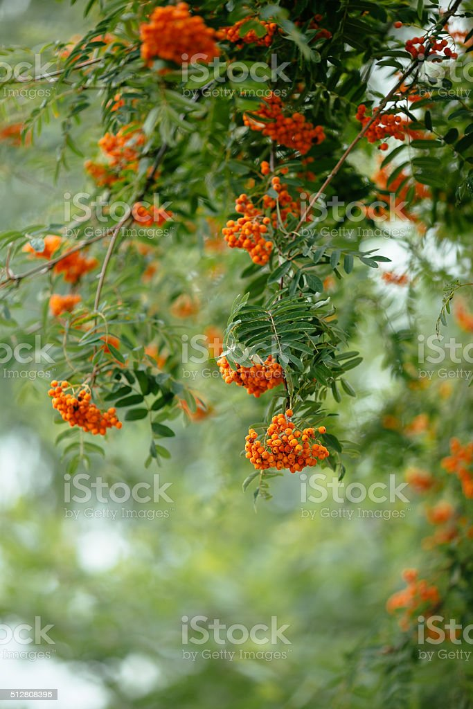 bunches of rowan on a green background stock photo