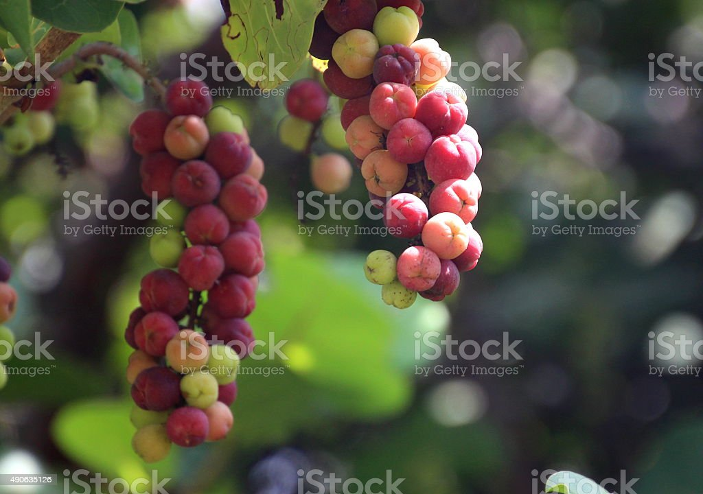 bunches of sea grapes stock photo