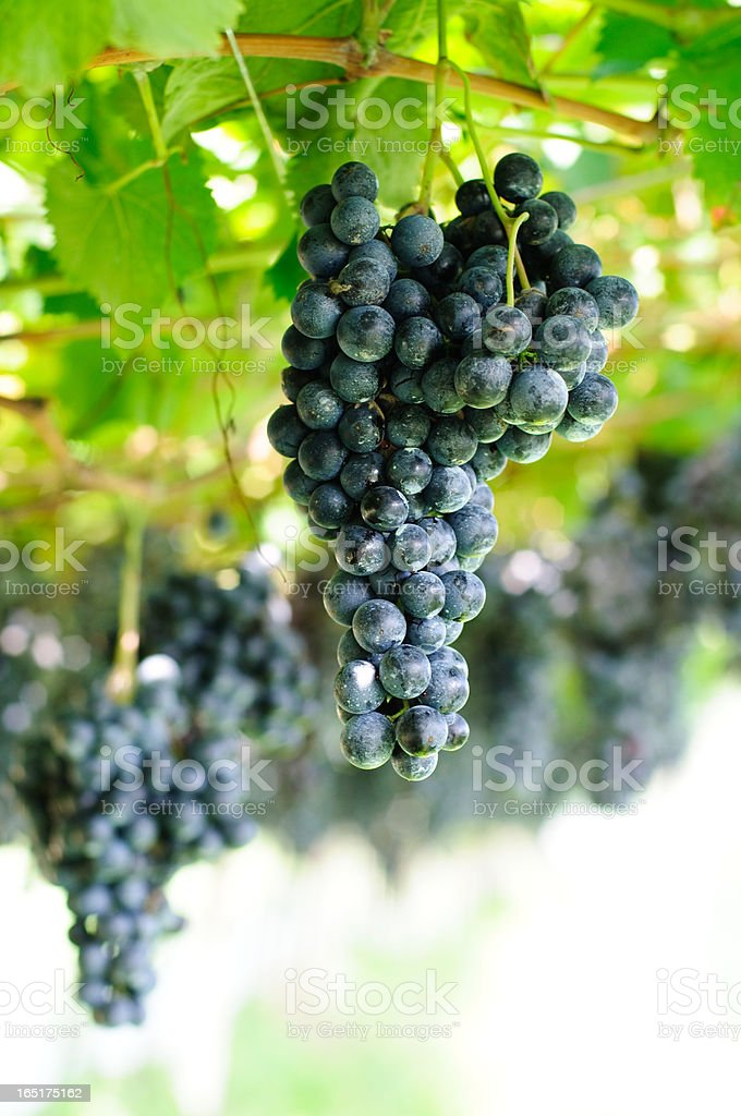 Bunches of sweet grapes royalty-free stock photo