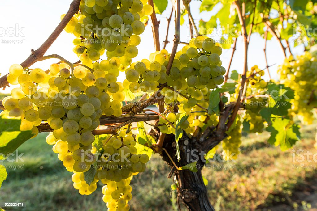 Bunches of White Grapes on Vine (shallow DOF) stock photo
