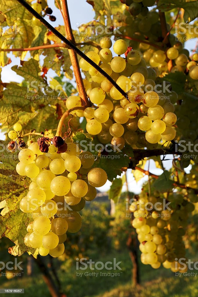 Bunches of white grapes stock photo