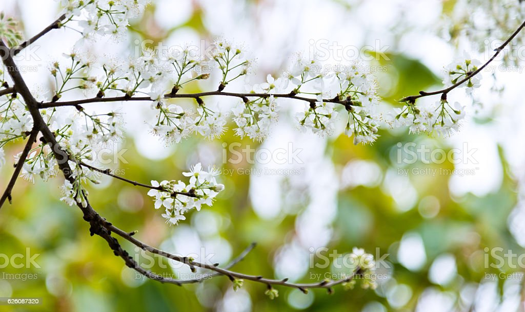 Bundle of pear blossoms close-up stock photo
