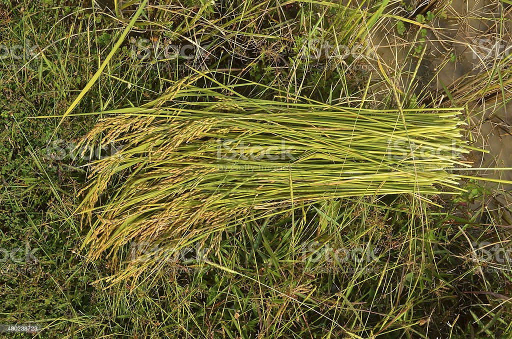 Bundle of rice paddy on the field royalty-free stock photo
