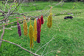 Bundles of dyed wool drying on a tree in Peru.