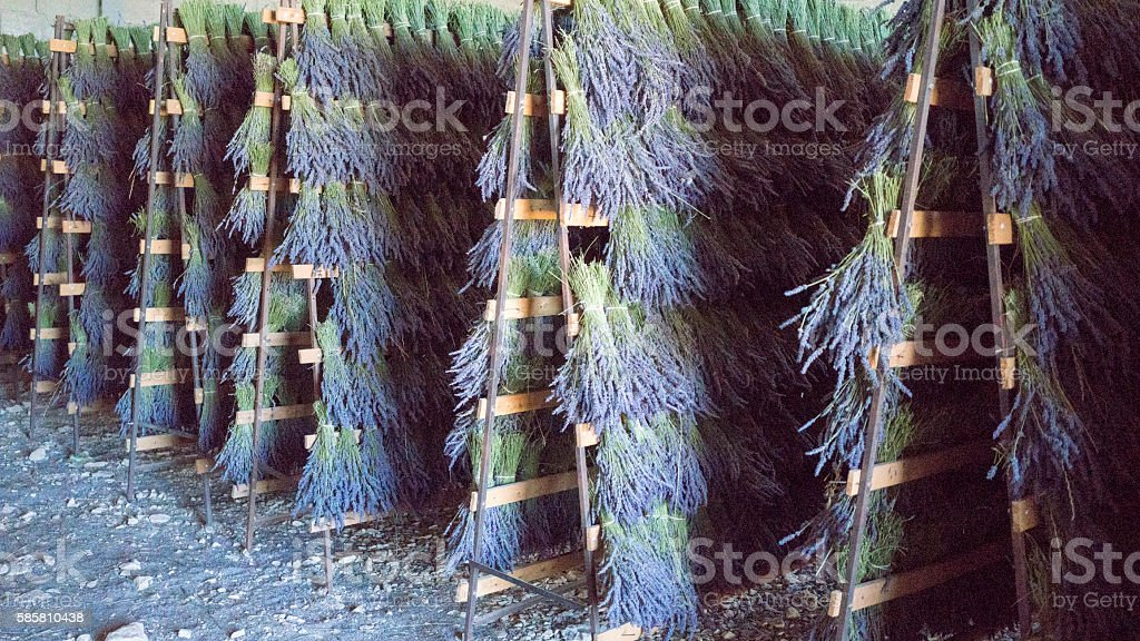 Bundles of hand-cut fine lavender bouquets drying stock photo
