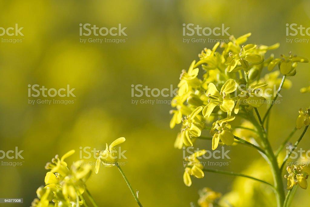Bunias orientalis stock photo