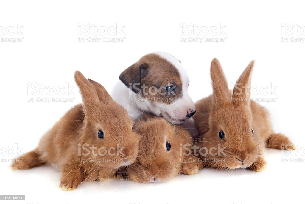bunnies and puppy royalty-free stock photo