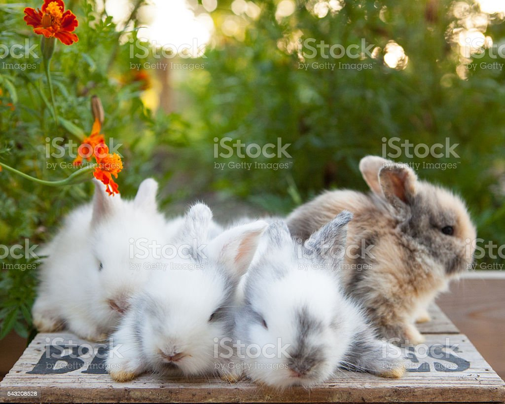 Bunnies of Springtime stock photo