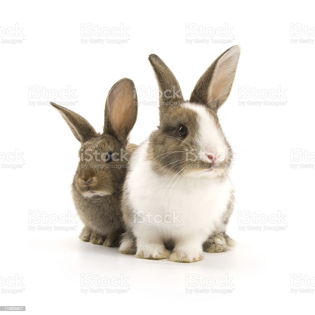 Bunnies stock photo