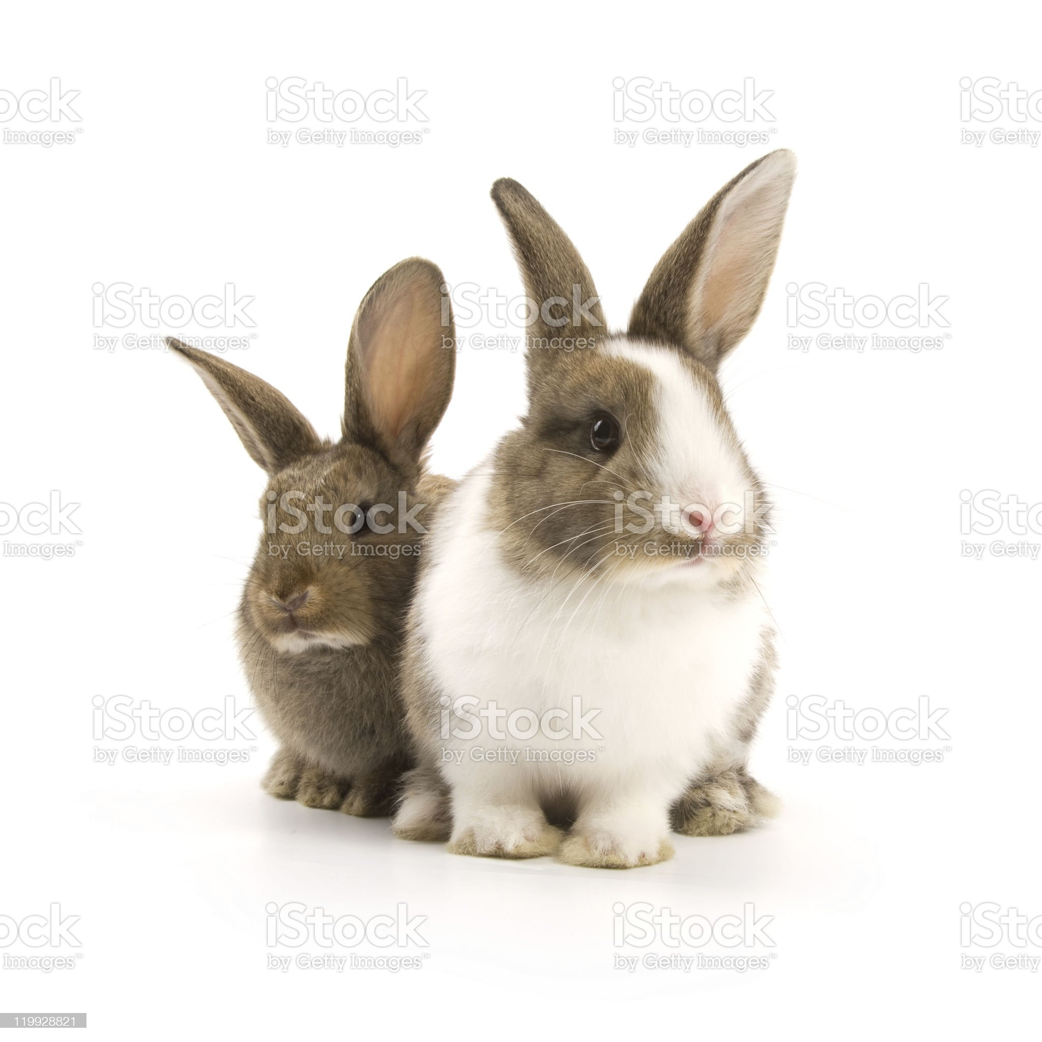Bunnies royalty-free stock photo