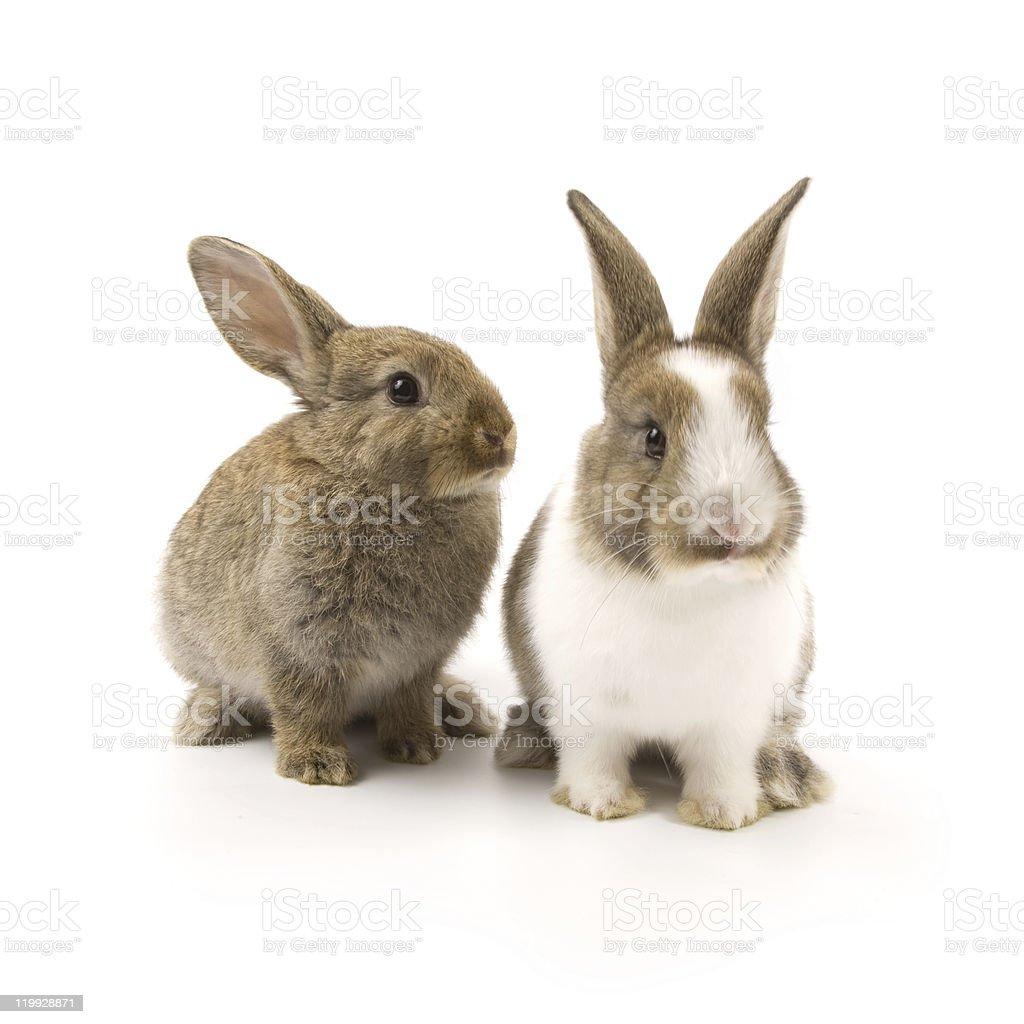 Bunnies royalty-free stock photo