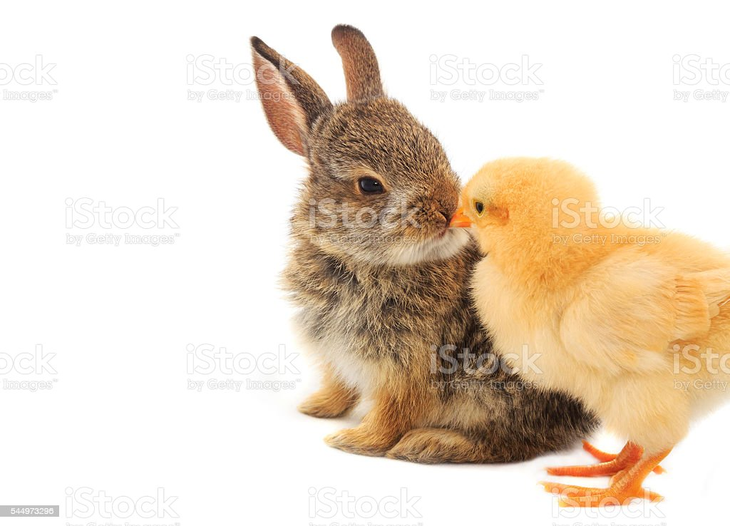 Bunny & Chick stock photo