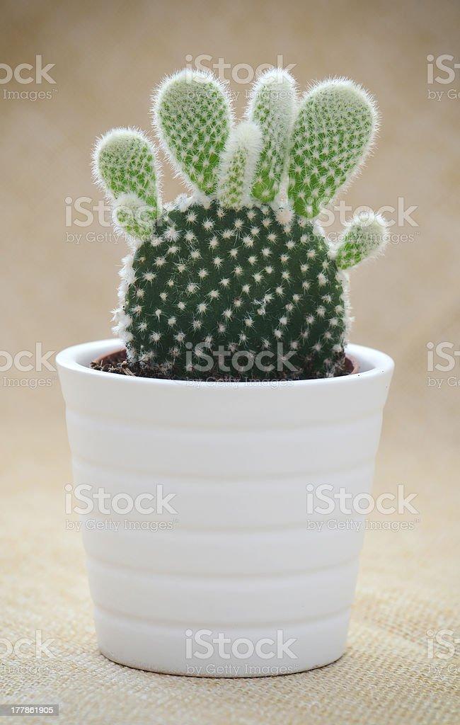 Bunny ears cactus (Opuntia microdasys) royalty-free stock photo