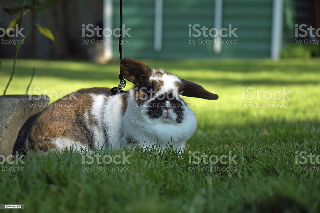 Bunny - Pet Holland Lop stock photo
