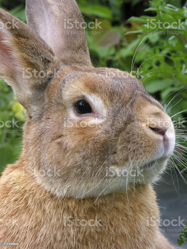 bunny portrait stock photo