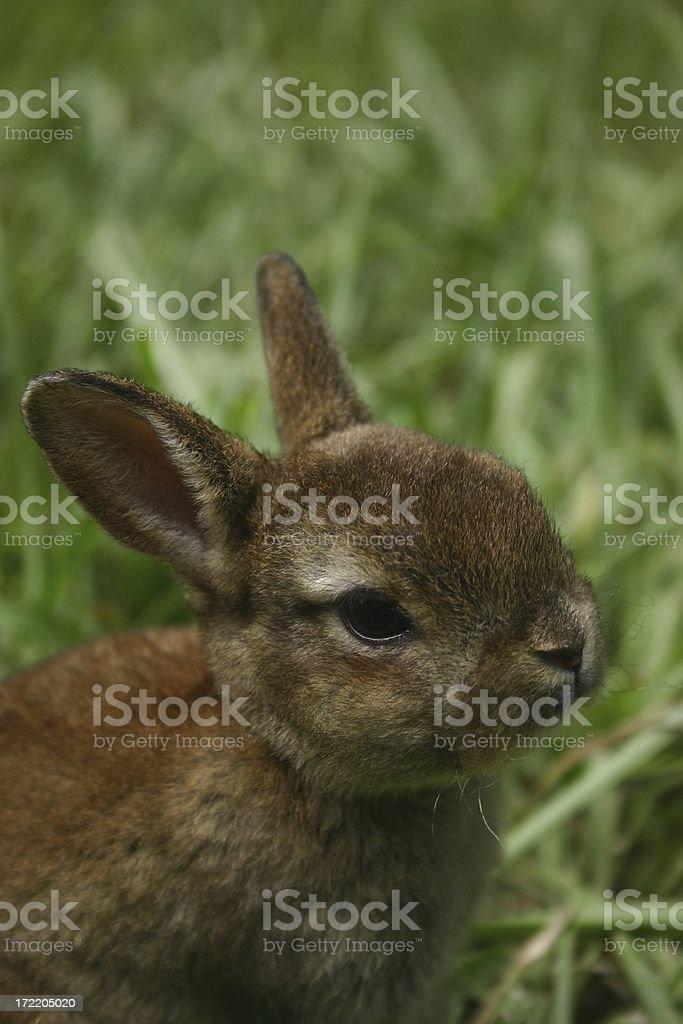 Bunny Portrait royalty-free stock photo