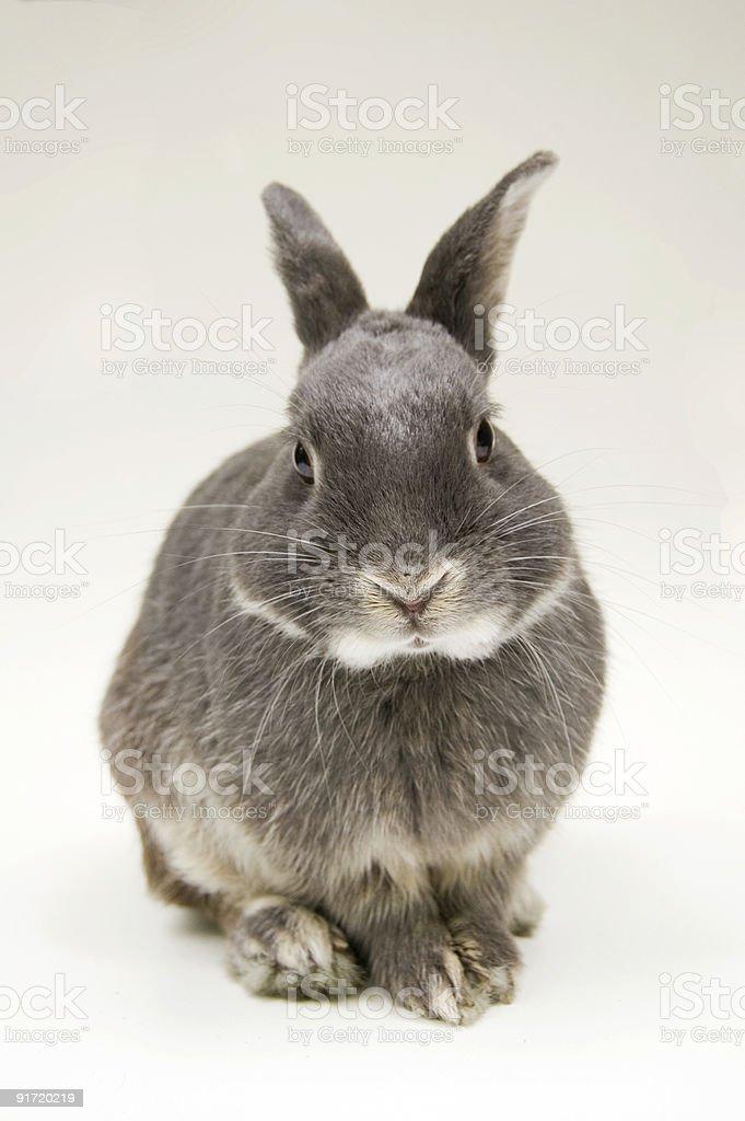 Bunny Rabbit 1 royalty-free stock photo