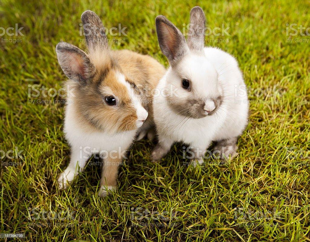 Bunny, rabbit royalty-free stock photo