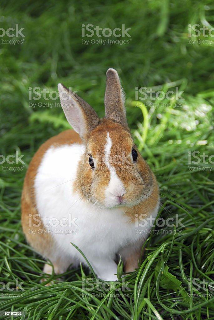 Bunny rabbit royalty-free stock photo
