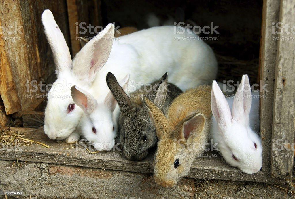 Bunny Rabbits family royalty-free stock photo