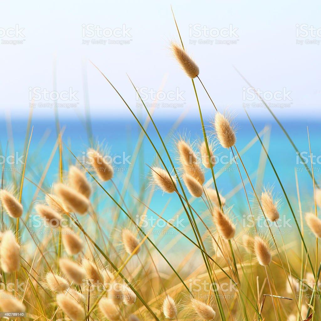 Bunny Tails Grass Lagurus Ovatus stock photo