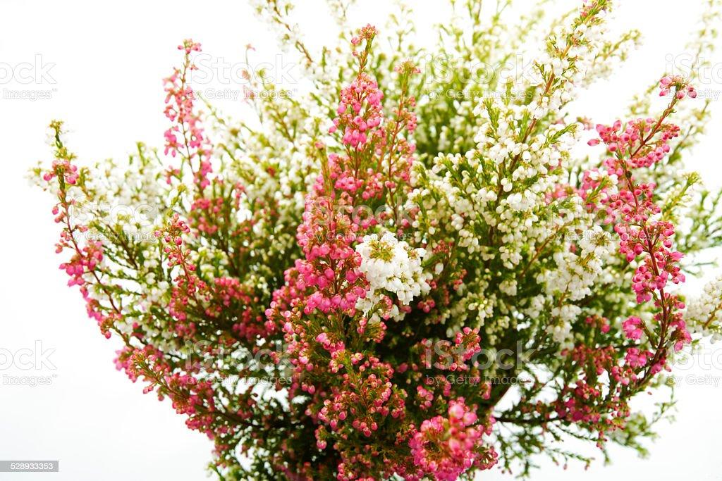Bunte Glockenheide (Erica gracilis) stock photo