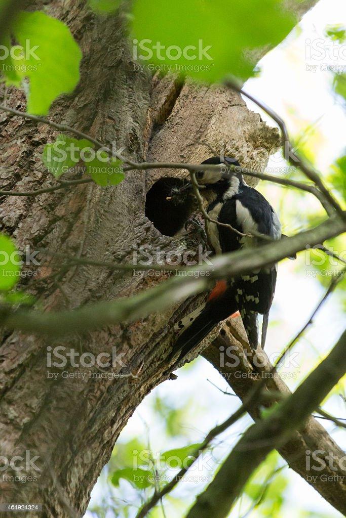Buntspecht Baum stock photo